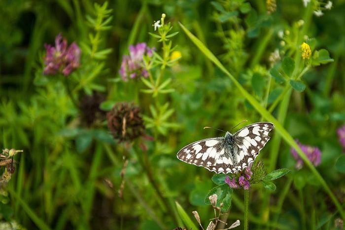 Бабочка на лугу