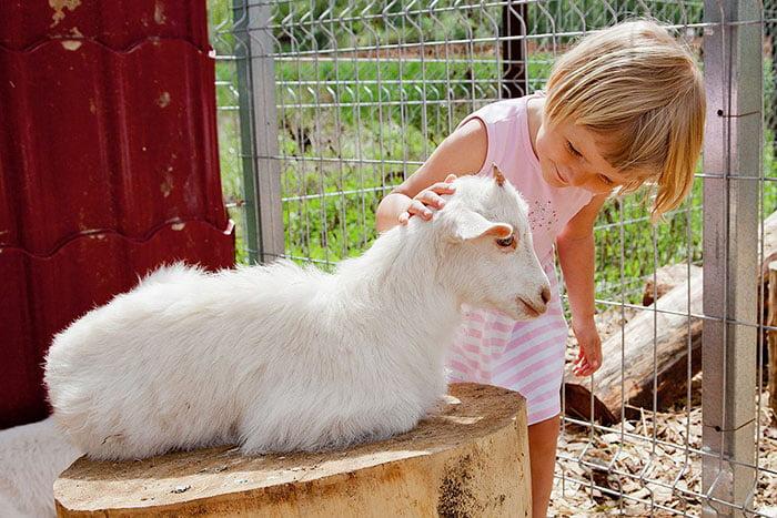 Девочка гладит козленка